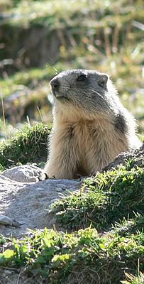 Marmotton de la Clarée