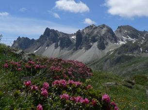 Rhododendrons et Massif des Cerces