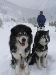 Les chiens de traineaux attendent le départ